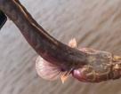 Tìm thấy loài cá bí ẩn ở Australia