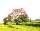 Ngắm cây hoa gạo đỏ rực giữa bãi bồi sông Vu Gia