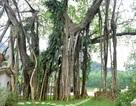 """Kỳ lạ cây đa """"di chuyển"""" ở Ninh Bình"""