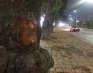 Hà Nội: Những vết khoét lạ trên thân hàng xà cừ cổ thụ