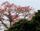 Hà Nội thơ mộng trong sắc đỏ hoa gạo