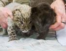 """Hai con báo đốm Amur """"siêu hiếm"""" vừa được sinh ra thành công tại Mỹ"""