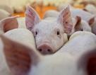 Dịch tả lợn châu Phi có dấu hiệu lan rộng, đã xuất hiện ở 14 tỉnh thành
