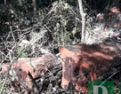 Vụ phá rừng gỗ quý ở VQG Phong Nha - Kẻ Bàng: Cách chức Trạm trưởng, Trạm phó kiểm lâm