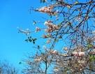 Lên Núi Cấm… ngắm Hoa Anh Đào bung nở