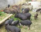 Cục Chăn nuôi: Bèo tây, thân chuối vẫn là thức ăn chăn nuôi truyền thống