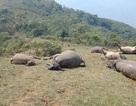 Đàn trâu 6 con bị sét đánh chết trên đồi