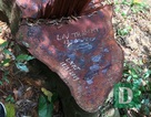 Khởi tố 5 đối tượng phá rừng gỗ lim tại Quảng Bình