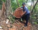 Cận cảnh rừng gỗ lim bị chặt phá tan hoang vừa phát hiện