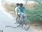 Đang đi trên đường, hai người đàn ông bất ngờ bị rắn hổ mang lao đến tấn công