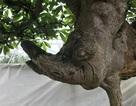Cây hoa sữa dáng giống voi Bà Triệu, khách trả 6 tỷ đồng không bán