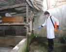 Khoanh vùng ổ dịch, khống chế ngăn dịch tả lợn châu Phi lan rộng