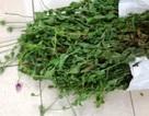 Người đàn ông trồng hơn 300 cây anh túc trong vườn nhà