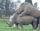 Tê giác giao phối trước mặt khách tham quan