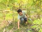Phú Yên: kiếm cả chục triệu đồng từ trồng cây đinh lăng lấy củ