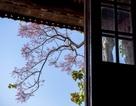 Hoa ngô đồng đẹp ngỡ ngàng trong Đại Nội Huế