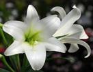 Tháng 4, mùa hoa loa kèn… tặng bố