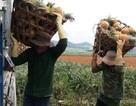 """Thanh Hoá: Dứa chỉ 2.000-3.000 đồng/kg, nông dân """"đang ngồi trên đống lửa"""""""