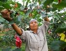 Nông dân ngoại thành Hà Nội mỏi tay thu hoạch dâu chín
