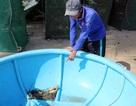 Phú Yên: Một đêm tôm hùm nuôi chết hàng trăm con,  người nuôi mất hàng trăm triệu đồng