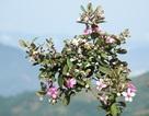 Quảng Ngãi: Hoa sim nở tím một góc trời trên thảo nguyên Bùi Hui