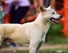Nhiều người dân Hà Nội quen thả rông chó không rọ mõm