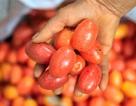 Nông dân Hà Nội tất bật thu hoạch nhót chín