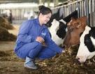 """6 thập kỷ từ """"người tiên phong"""" đến """"chuyên gia bò sữa"""" của Mộc Châu Milk"""