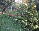 Hơn 60 gốc bưởi Năm Roi sắp thu hoạch bị chặt phá tan hoang