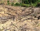 Khởi tố 2 cha con chặt phá 11.300 m2 rừng tự nhiên