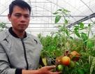 Chàng trai thu trăm triệu đồng từ ...cà chua, hoa hồng và dưa kim hoàng hậu