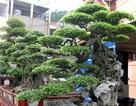 Đột nhập vườn cây trị giá cả chục triệu USD của đại gia đất Tổ