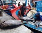 """Ngư dân """"méo mặt"""" vì mất mùa cá ngừ đại dương ở Trường Sa"""