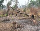 """Phát hiện hơn 4ha rừng bị """"chặt phá, đốt trụi"""""""