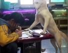 Ông bố huấn luyện chú chó nhà thành giám thị trông con gái học bài
