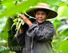 Vào rừng hái lá chuối bán 10.000 đồng/kg hết vèo