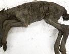 Phát hiện máu lỏng trong xác ngựa con 42.000 năm tuổi