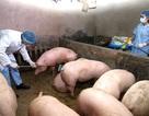 """Ninh Bình: """"Dập"""" được ổ dịch cũ, xuất hiện thêm 2 ổ dịch tả lợn châu Phi mới"""