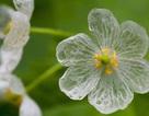 """Loài hoa """"biến hình"""" trở nên trong suốt như pha lê khi gặp mưa"""