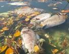 Hàng tấn cá chết trắng sông Phú Lộc - Đà Nẵng