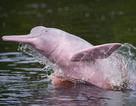 """Phát hiện cá heo ở Amazon dùng hàng trăm âm thanh kì lạ để  """"nói chuyện"""" với nhau"""