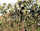 Cần xử nghiêm hành vi phá hoại nông sản, vật nuôi của nông dân