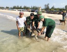 Thả rùa quý hiếm nặng 33 kg về biển
