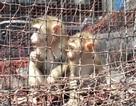 Bỏ tiền mua lại khỉ quý hiếm để thả về tự nhiên