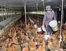 Trứng gà rớt giá thê thảm