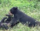 """Ghé thăm nơi """"hồi sinh"""" những cá thể gấu ở Ninh Bình"""