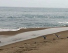 Đàn chim nghi là Hải Âu bay về đảo cát nổi trên biển Hội An