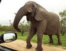 Du khách bị voi húc trọng thương khi cho con đi tiểu ở ven rừng