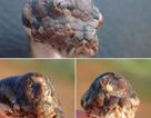 Phát hiện loài trăn ba mắt huyền bí ở Bắc Úc