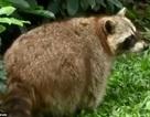 """Gấu mèo béo phì, giảm khả năng sinh sản vì ham ăn """"của lạ"""""""